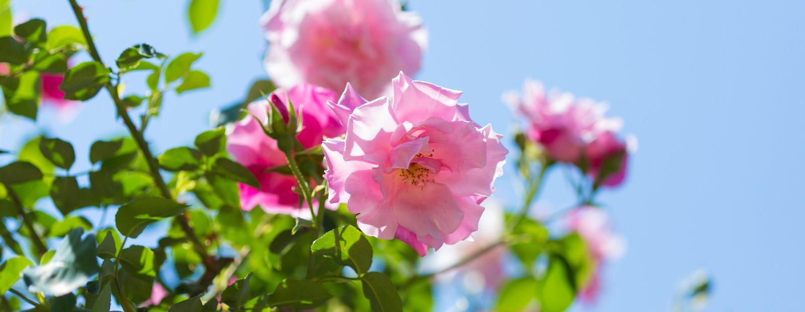 在自然栖息地生长着的玫瑰
