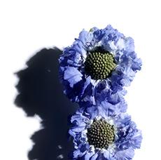 山萝卜花(冠笄花)