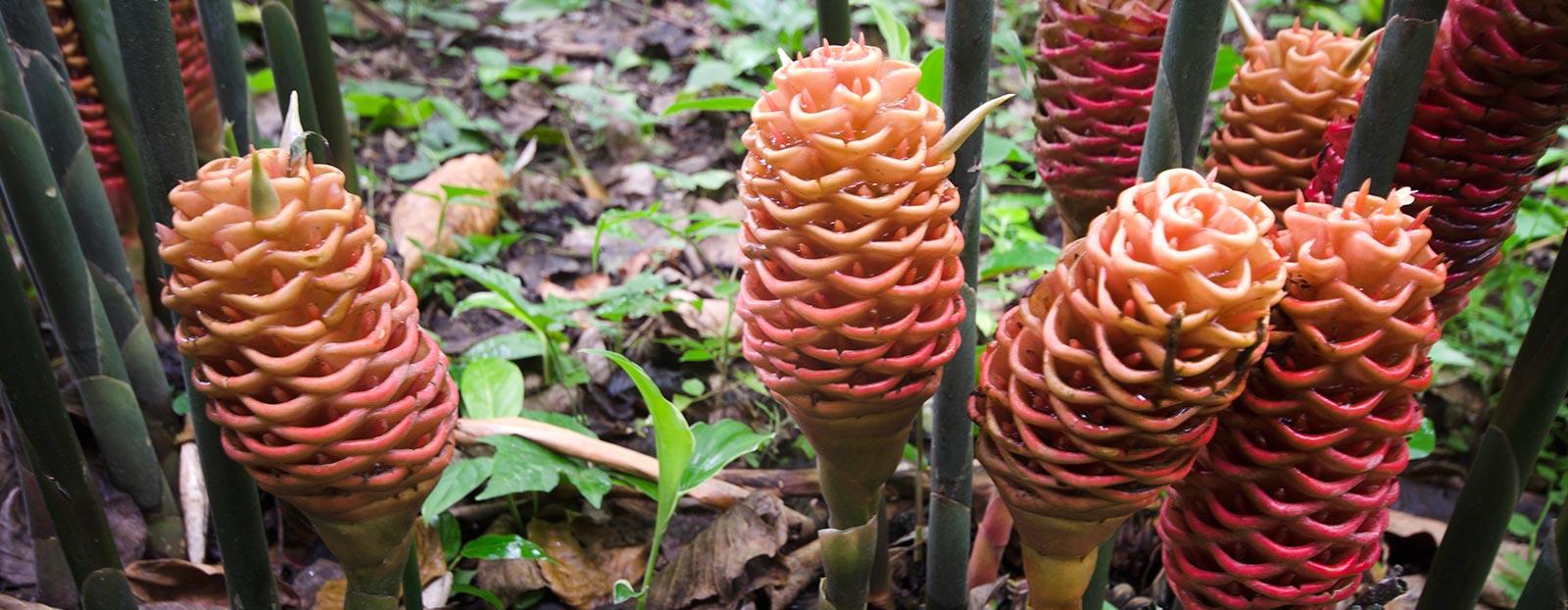 在自然栖息地生长着的红球姜