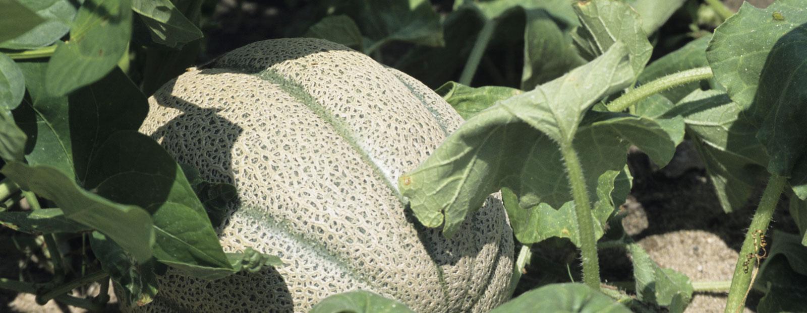 在自然栖息地生长着的哈密瓜