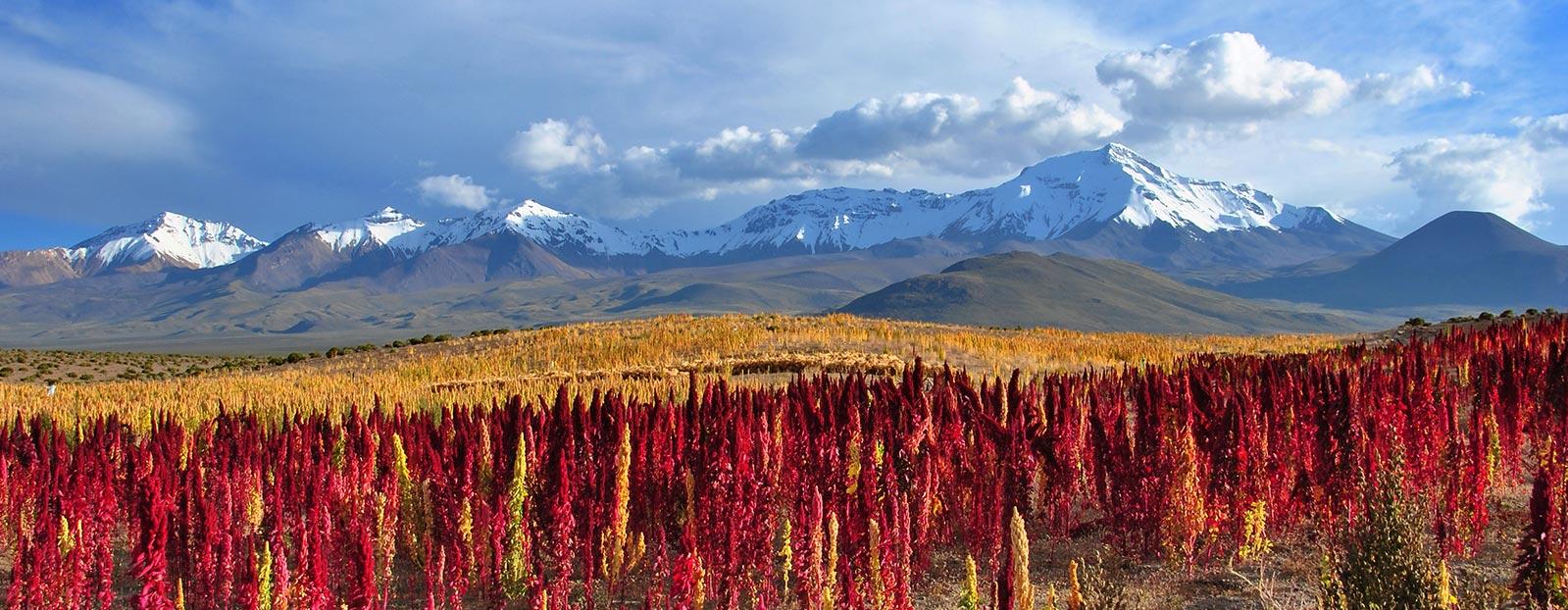 藜麦的自然栖息地
