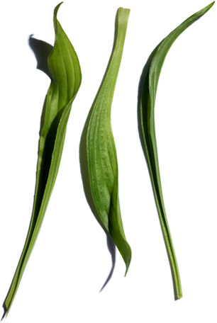 Narrow-leaf plantain