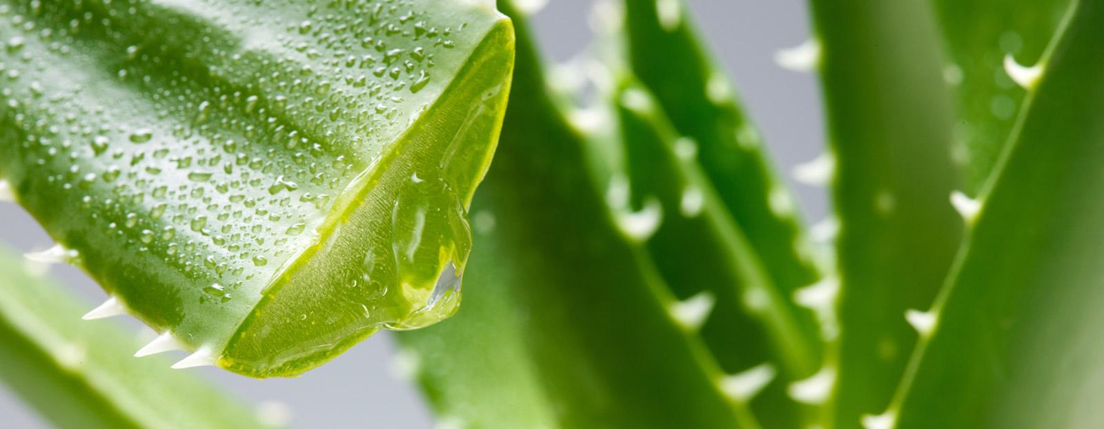 Aloe vera in its natural habitat