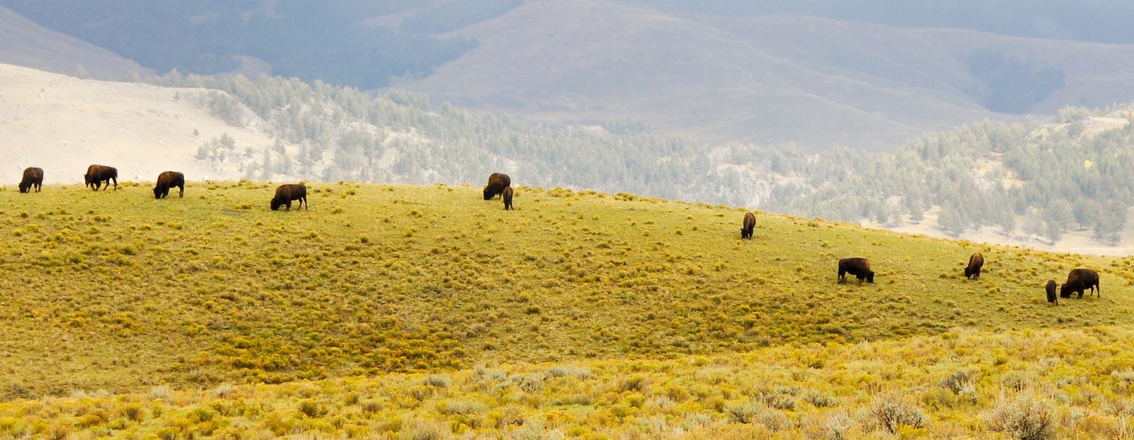 野牛草的自然栖息地