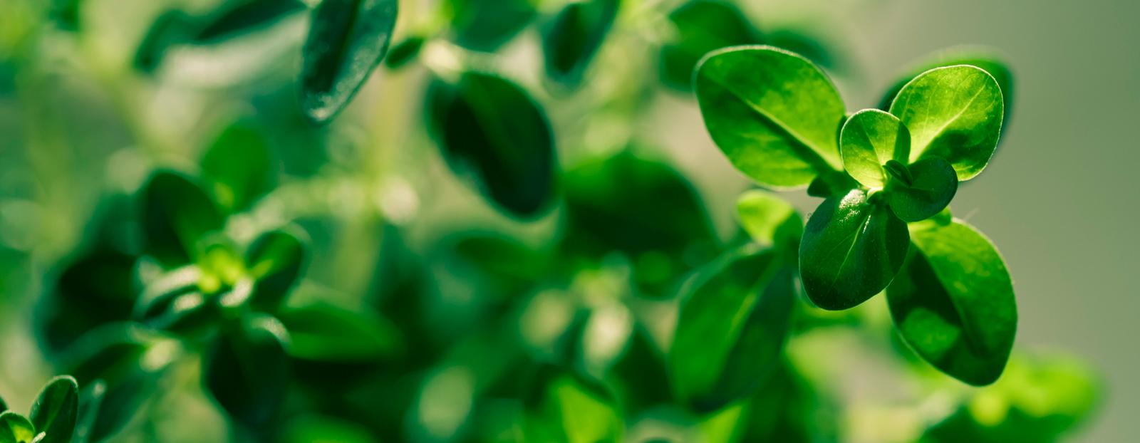 Lemon thyme in its natural habitat