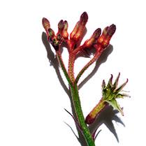 Kangaroo Flower ingredient