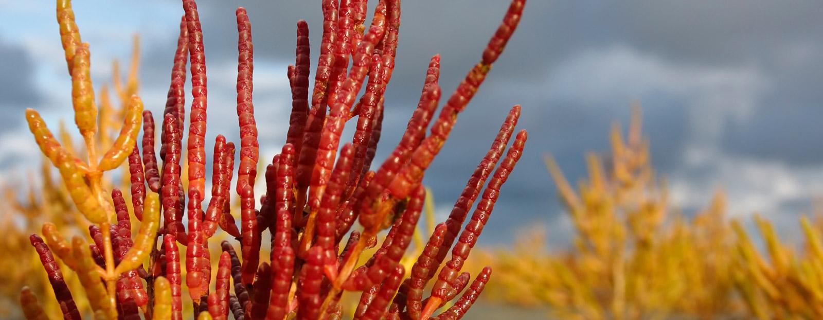 Salicornia in its natural habitat
