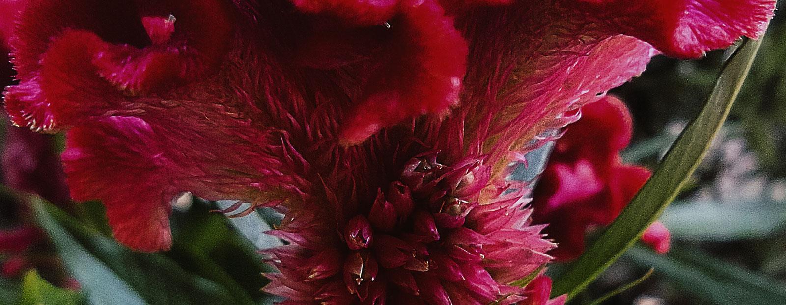 在自然栖息地生长着的鸡冠花