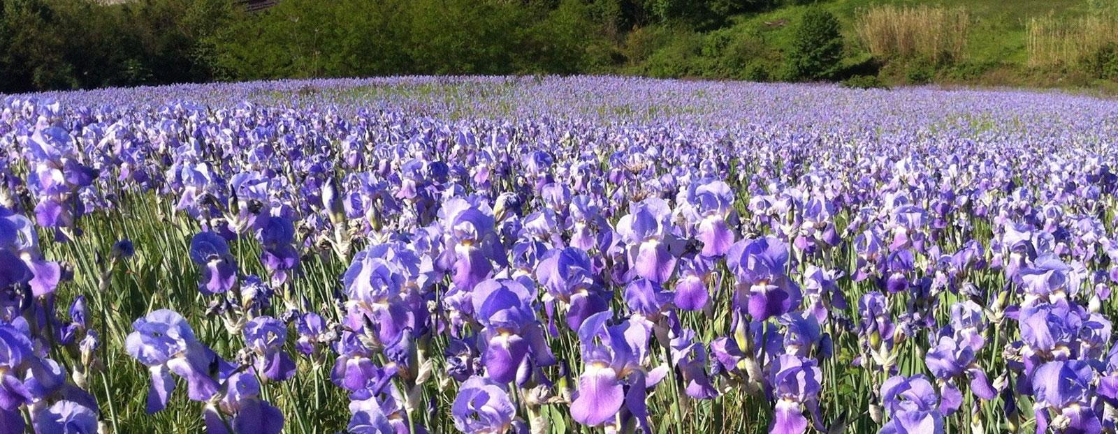 Iris in its natural habitat