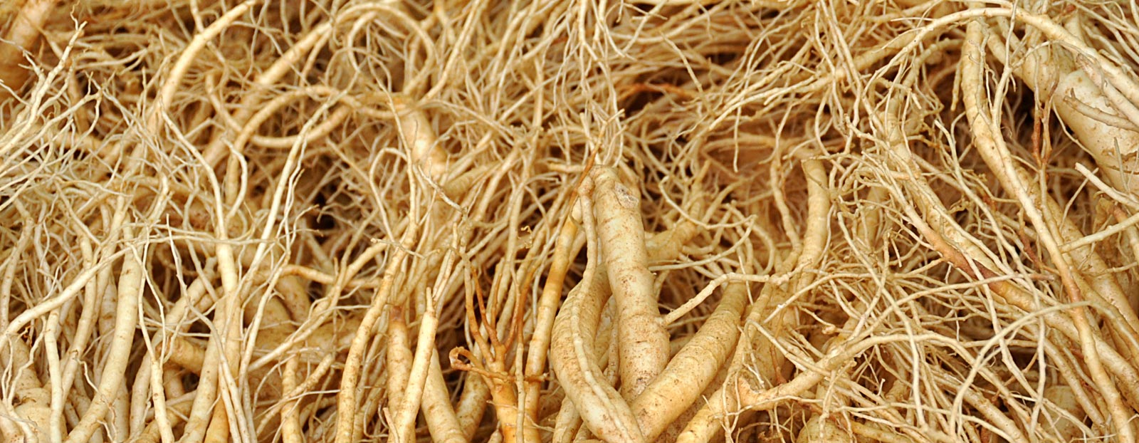 Ginseng in its natural habitat