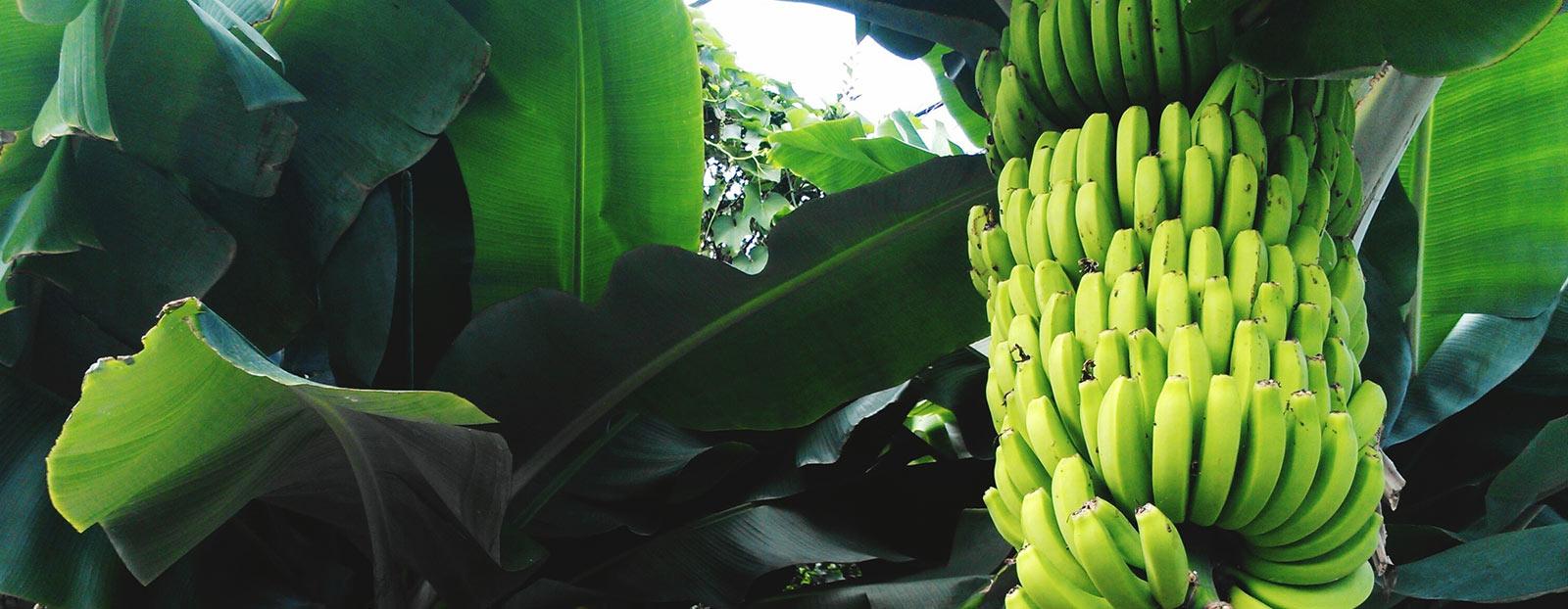 在自然栖息地生长着的香蕉树
