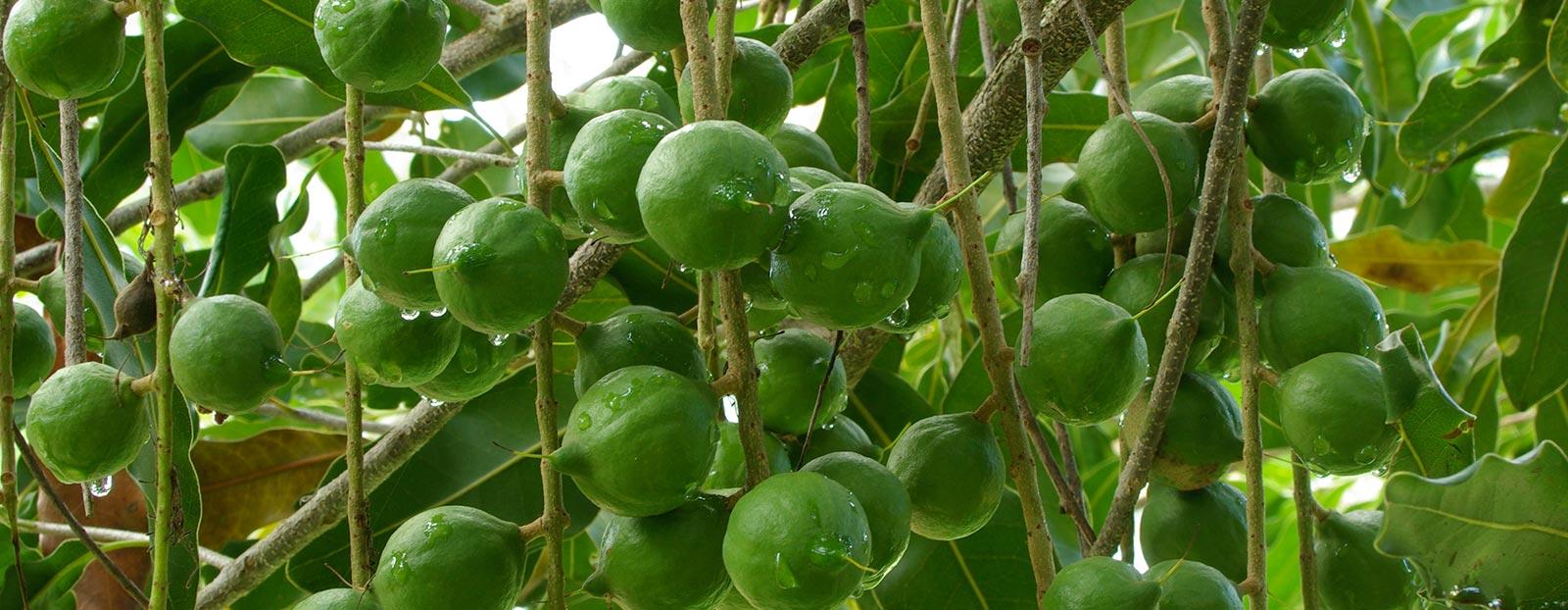 在自然栖息地生长着的夏威夷果