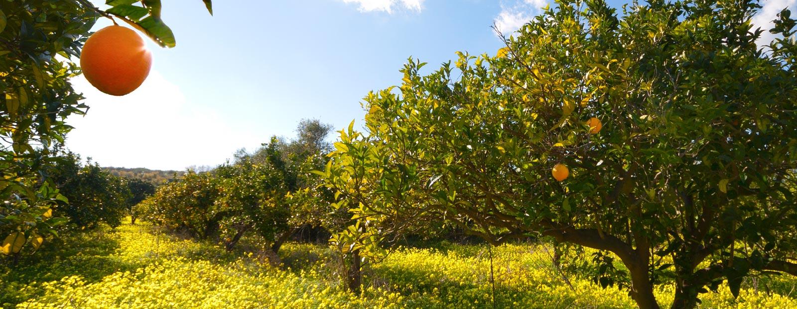 在自然栖息地生长着的苦橙