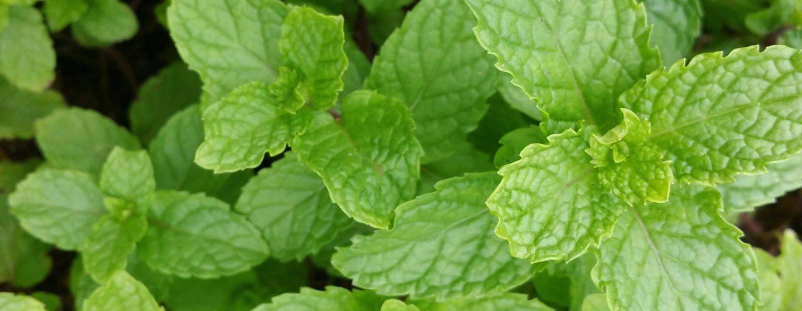 Field mint in its natural habitat