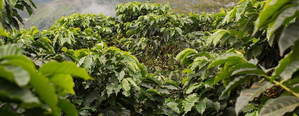 Natural habitat of green coffee
