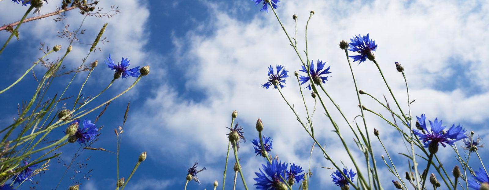 在自然栖息地生长着的矢车菊