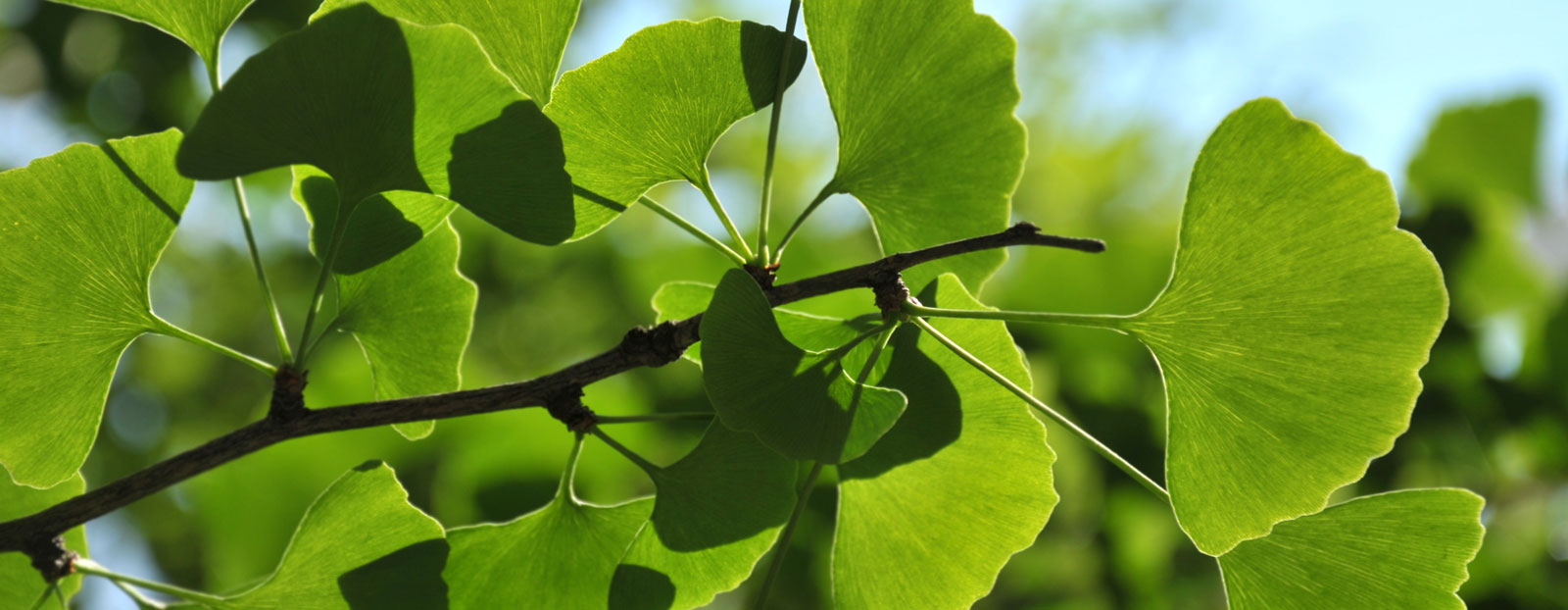 Ginkgo biloba in its natural habitat
