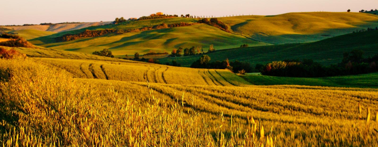 在自然栖息地生长着的燕麦