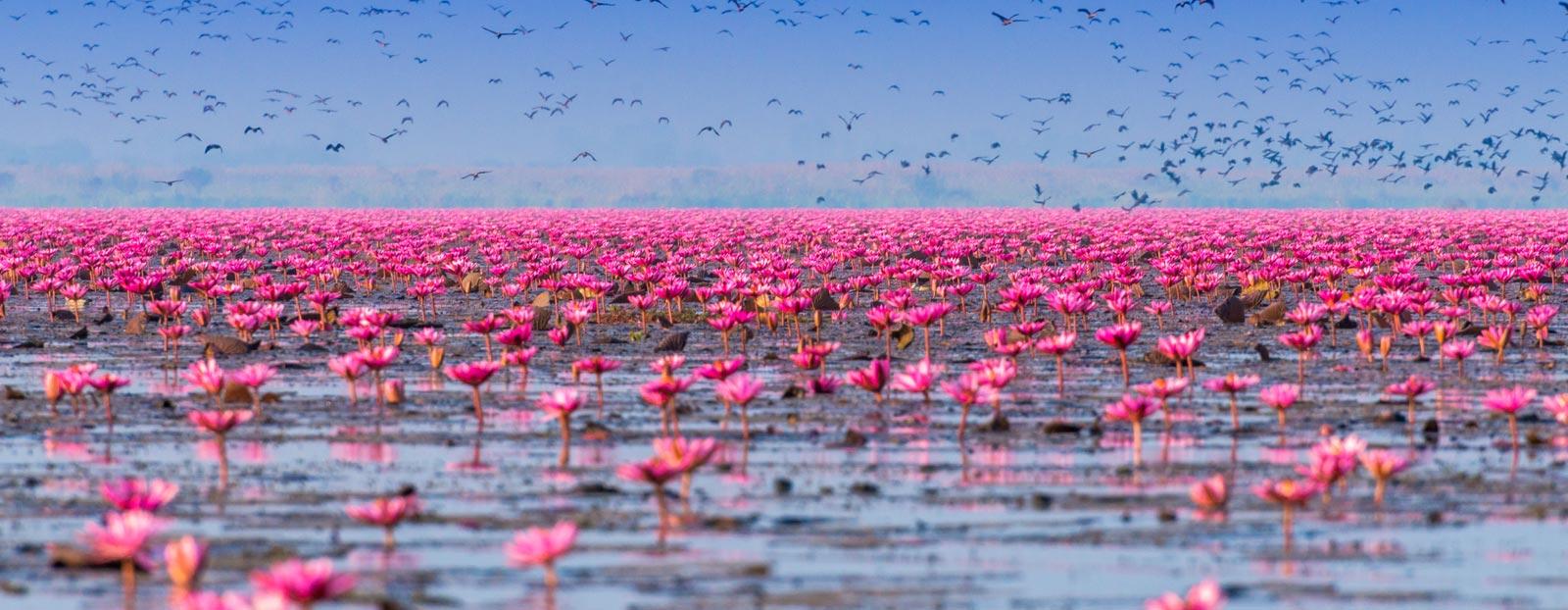 在自然栖息地生长着的莲花