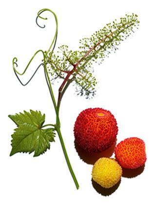 arbutus and vine ingredients