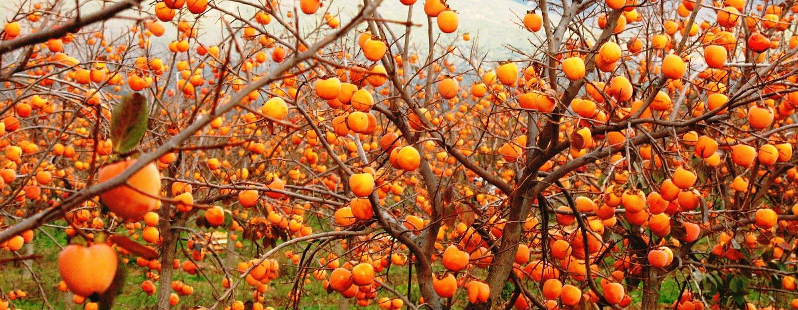 在自然栖息地生长着的柿子