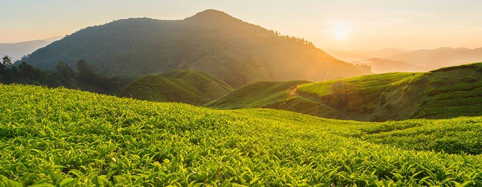 在自然栖息地生长着的白茶