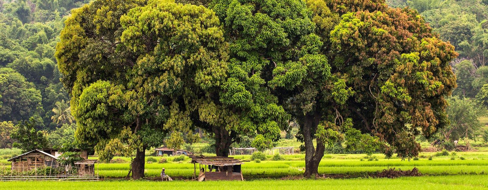 在自然栖息地生长着的芒果树