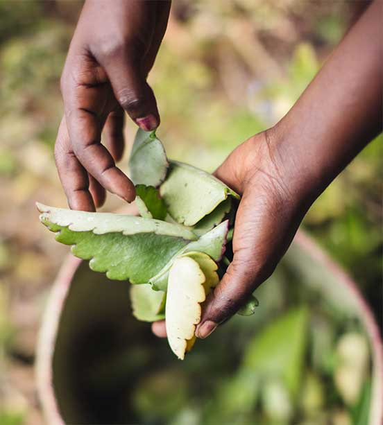 Hands shown lifting Kalanchoe out of a basket during sustainable harvest process