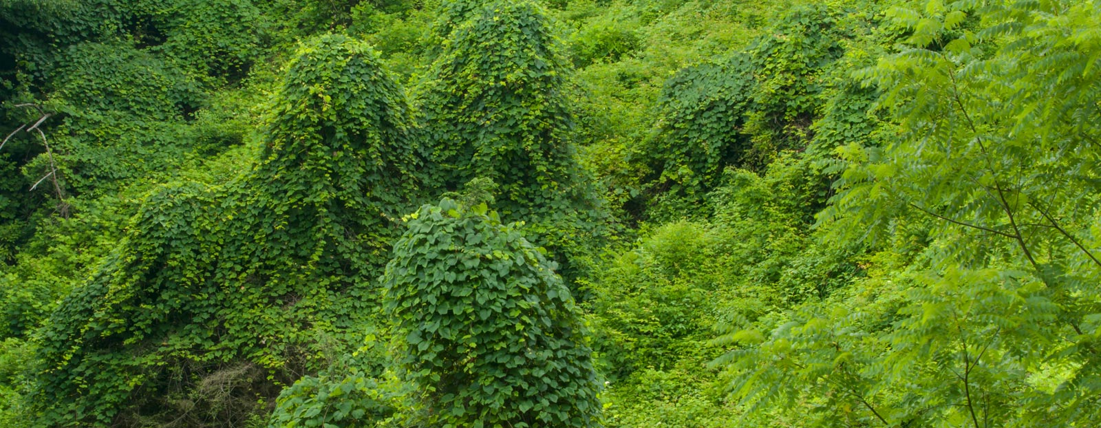 在自然栖息地生长着的葛根