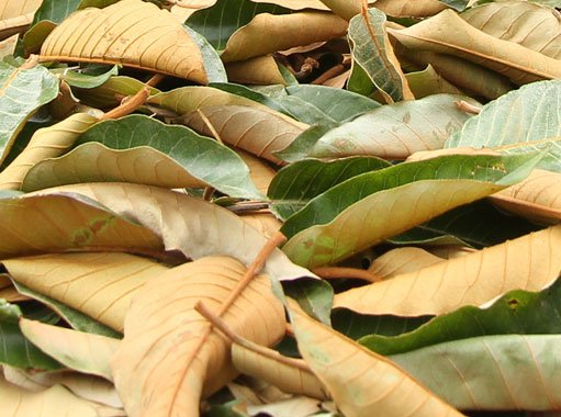 harungana leaf