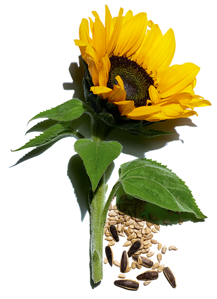 Sunflower ingredient and its seeds