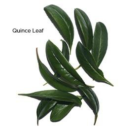 Organic Quince Leaf