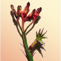 Flor de la pata de canguro