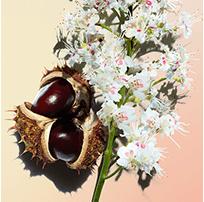 Horse chestnut flower