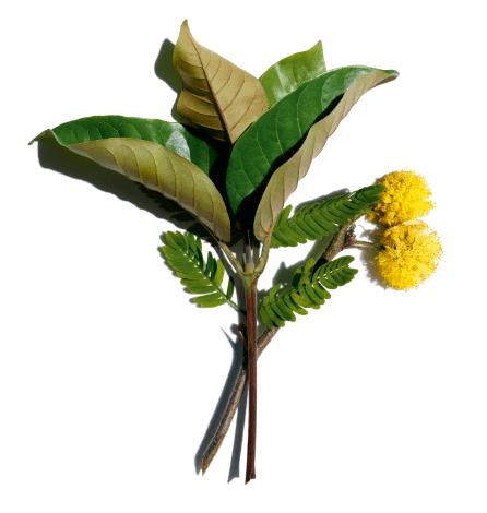 Harungana orgánica y flor de cassie