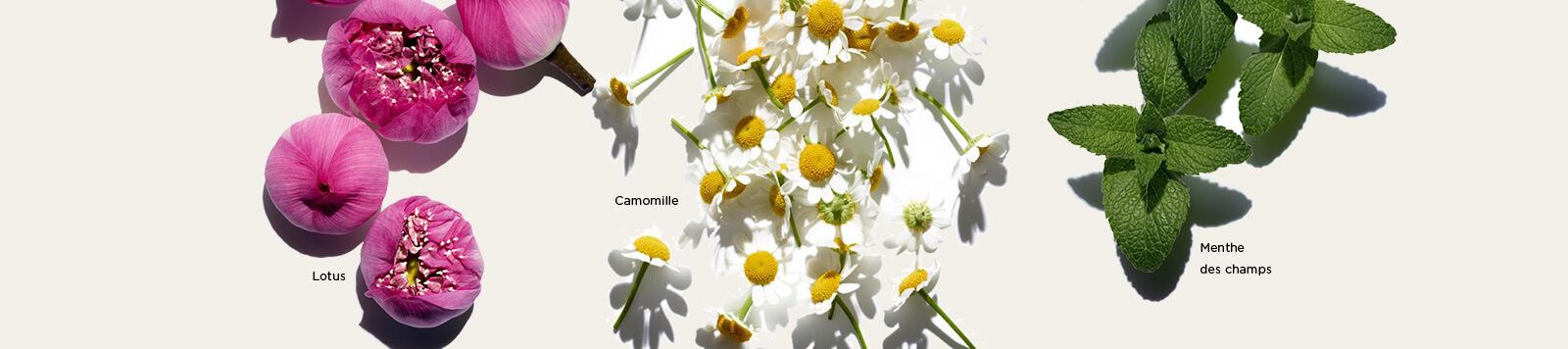 莲花、甘菊和薄荷成分