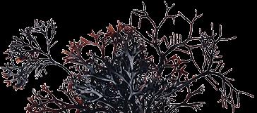 爱尔兰苔藓